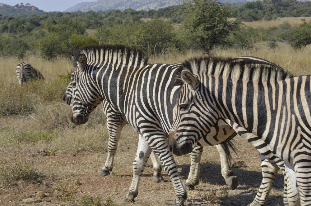 Zebra Crossing- photo by Nicole Coutinho (The Little Guru Blog)