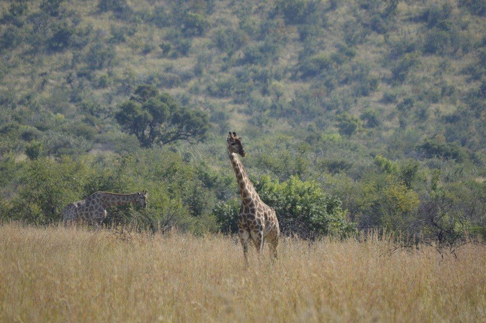 Giraffe spotting- photo by Nicole Coutinho (The Little Guru Blog)