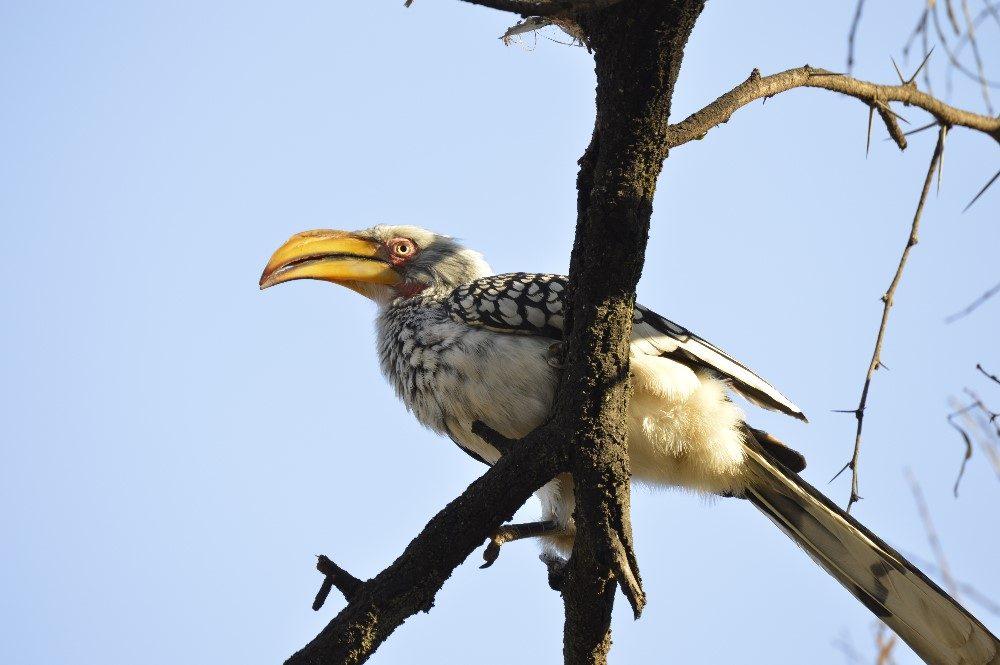 Zazu Bird- photo by Nicole Coutinho (The Little Guru Blog)